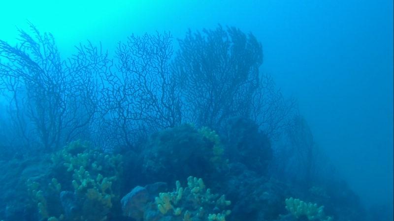 Palinurus elephas,  Corallium rubrum, Scorpaena scrofa, Savalia savaglia,  Anthias anthias