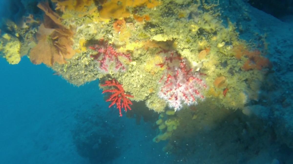 Red Coral - Corallium Rubrum