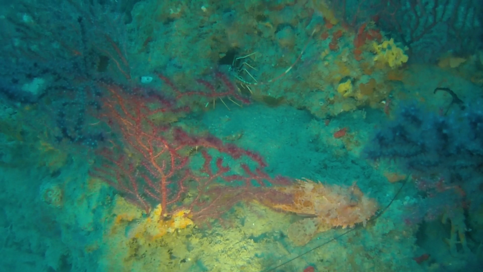 Scorpaena scrofa