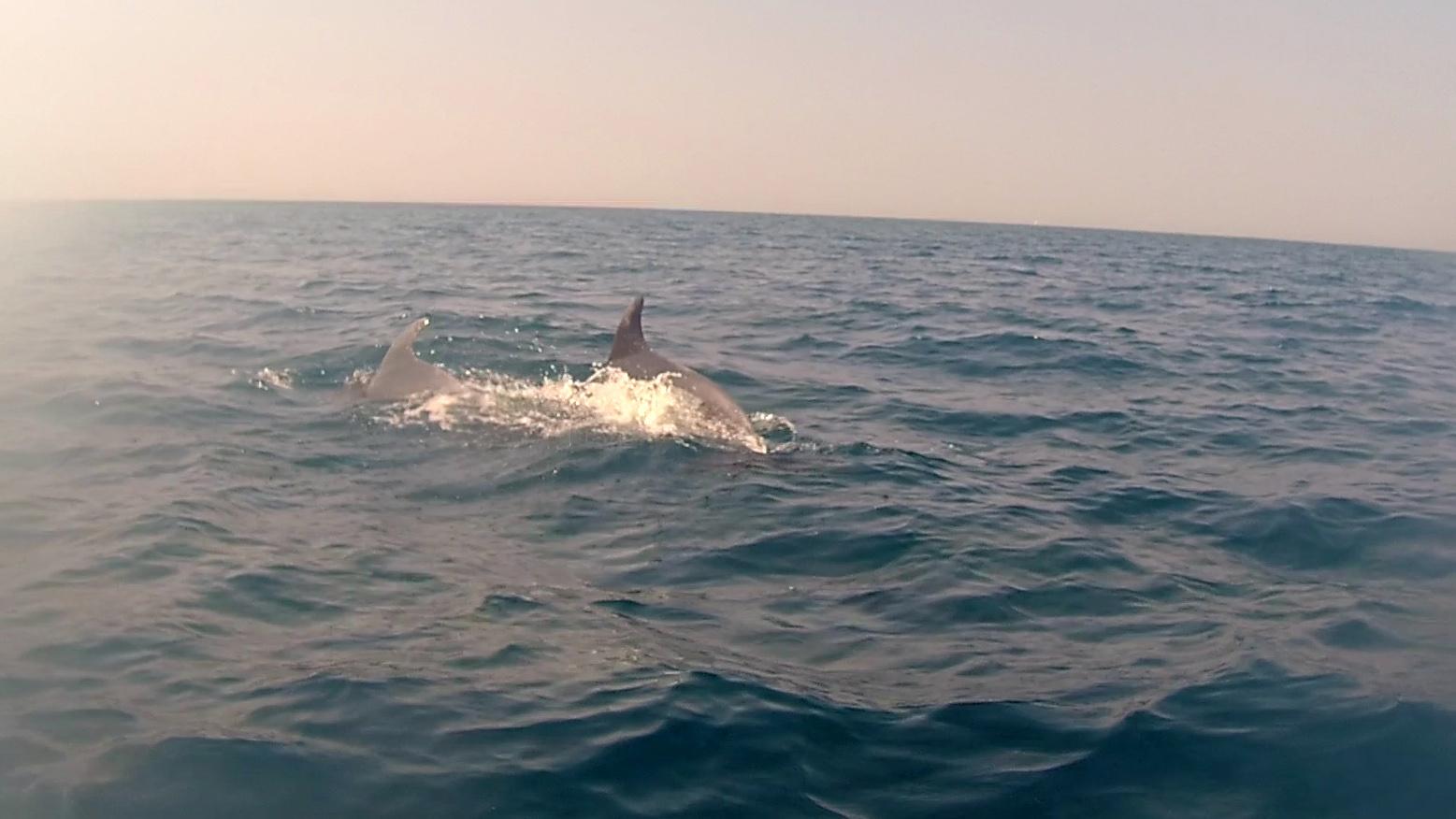 Delfini al largo di Castiglioncello