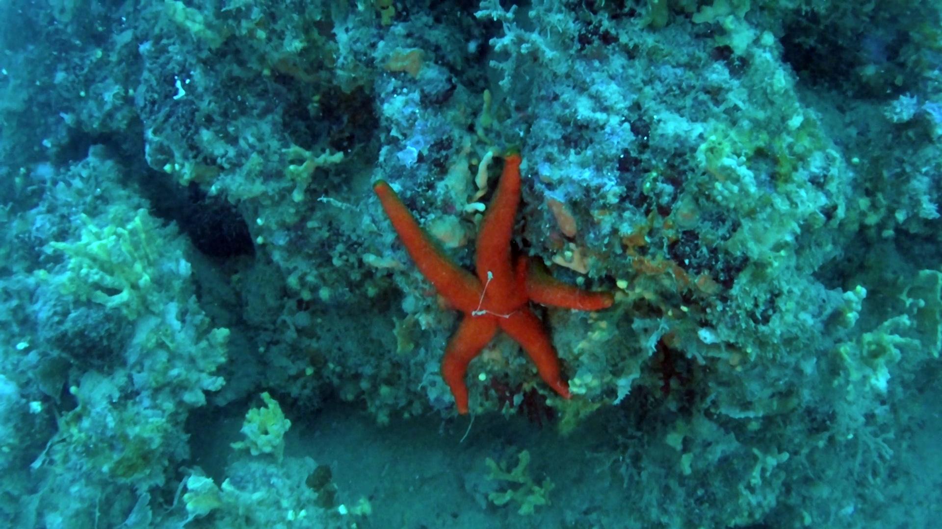 Mediterranean Red Seastar - Echinaster sepositus