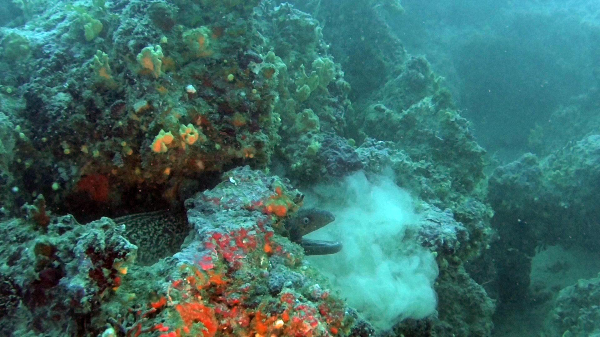 Moray Eel - Muraena helena