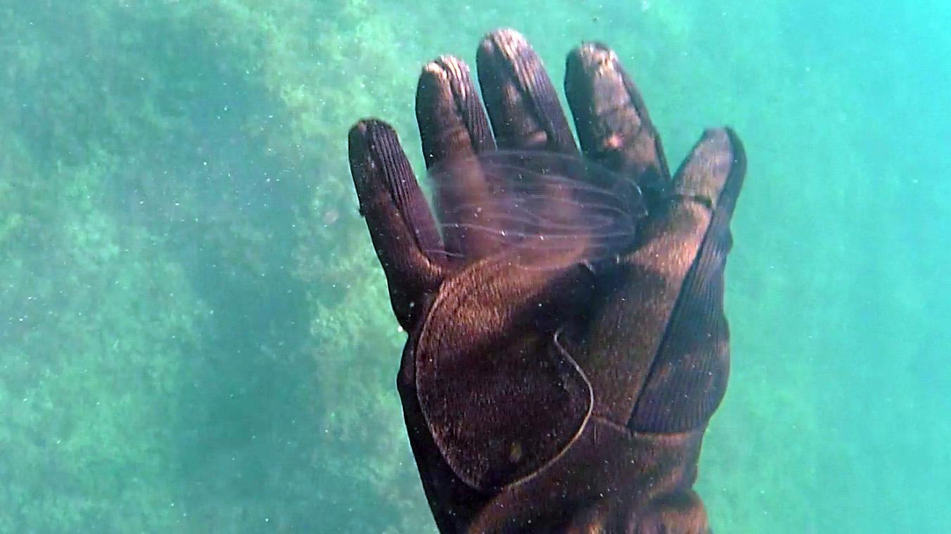 Plancton - Medusa