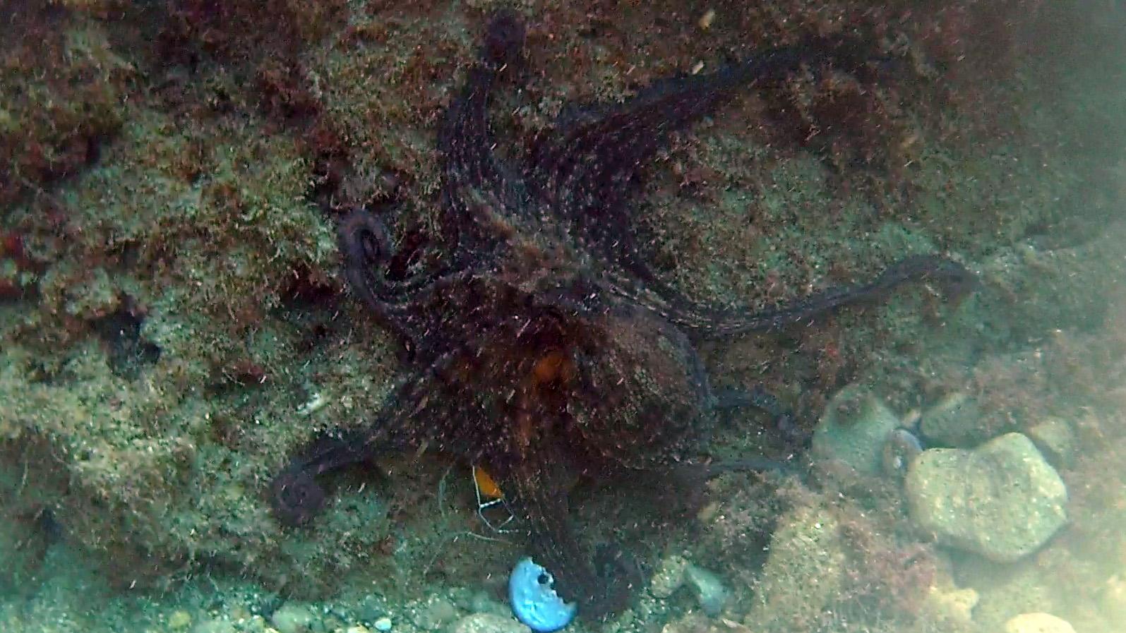 Polpo - Octopus vulgaris