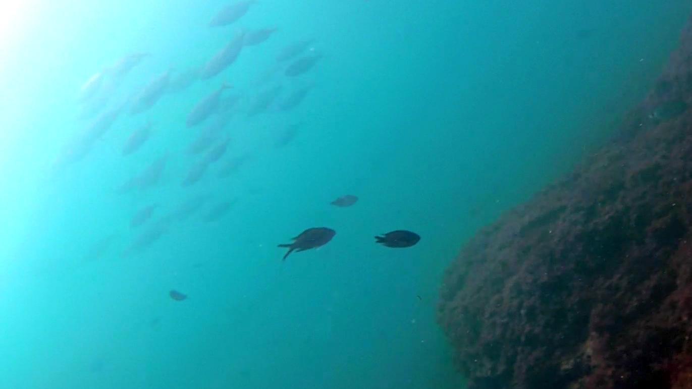 Damselfish - Chromis chromis