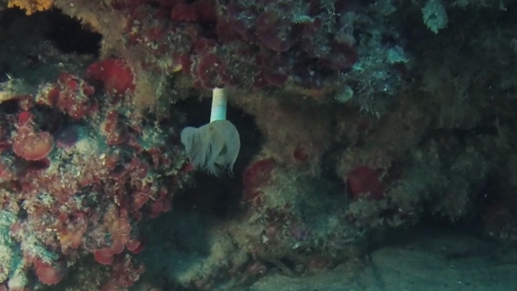 Anellide Policheta - Polychaeta