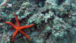spirografo_stella_marina-2016-11-01-20h14m32s169