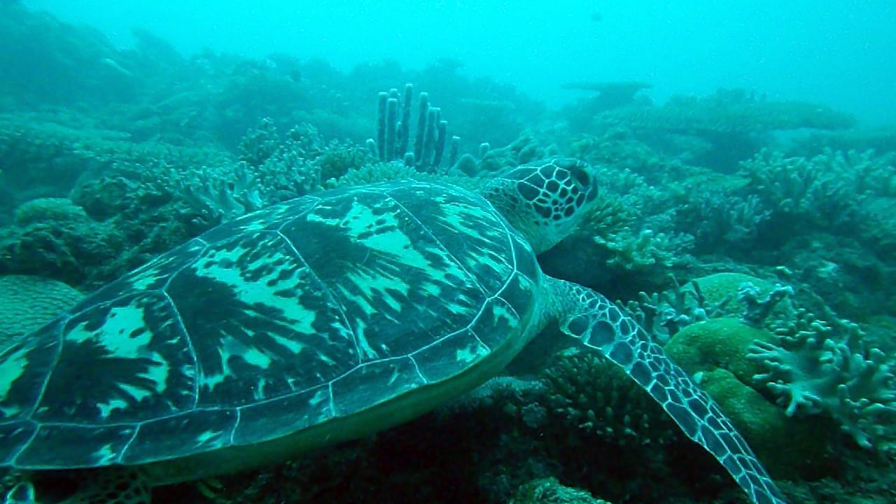 Tartaruga Comune - Caretta caretta