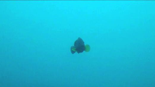 Dusky grouper - Madagascar