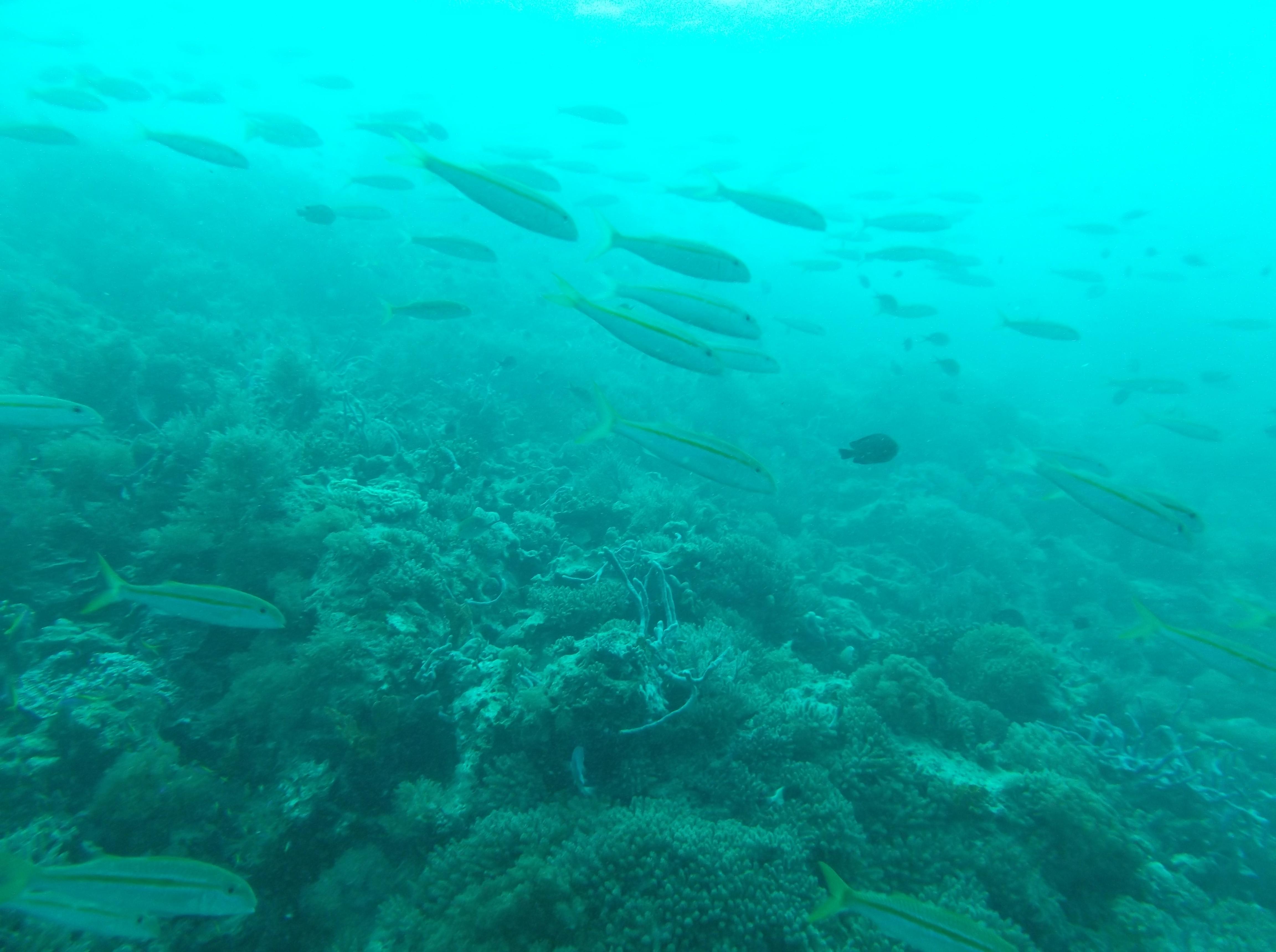 Attinopterigi - Actinopterygii