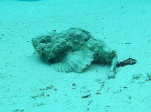 Bearded scorpionfish - Scorpaenopsis barbata