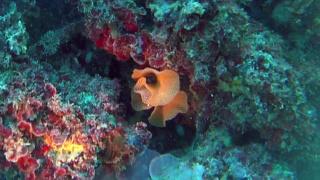 Bryozoan - Reteporella grimaldii
