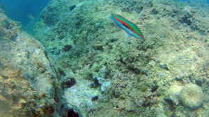 Coris Julis - Rainbow Wrasse