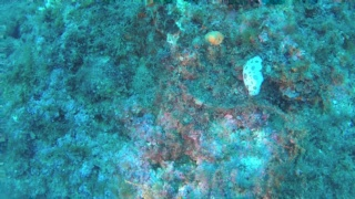 Jorunna funebris - Nudibranchi