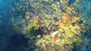 Yellow cluster anemone - Parazoanthus axinellae