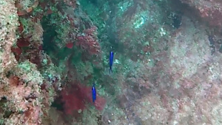 Pesci Blu Elettrico - Chromis chromis