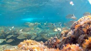 Snorkeling - Salpe e Saraghi