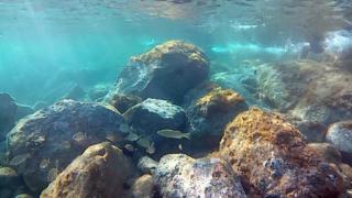 Snorkeling European Bass - Dicentrarchus labrax