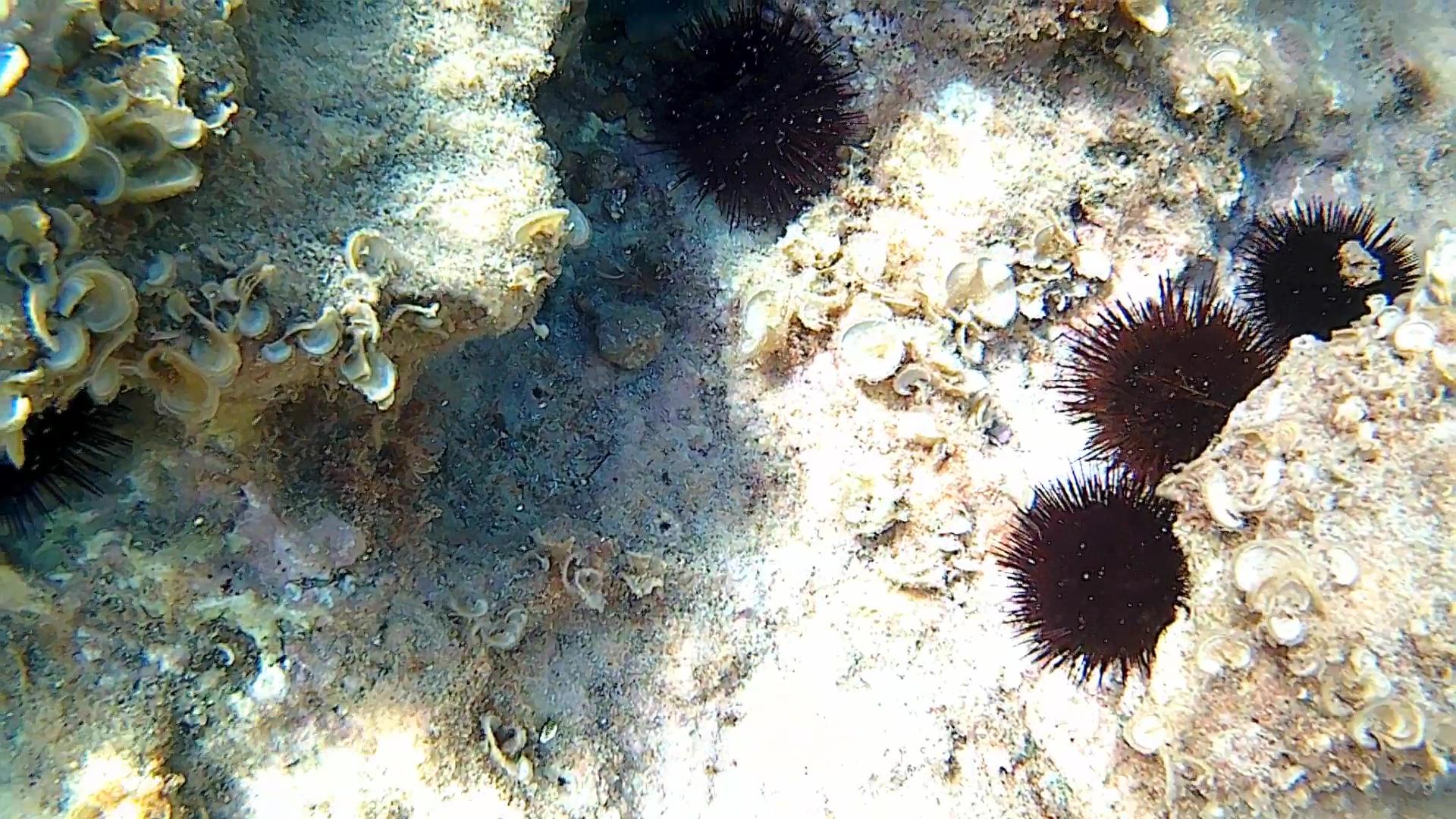 Paracentrotus lividus - Riccio di Mare - Sea Urchin - intotheblue.it
