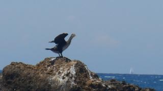 Il Cormorano affamato