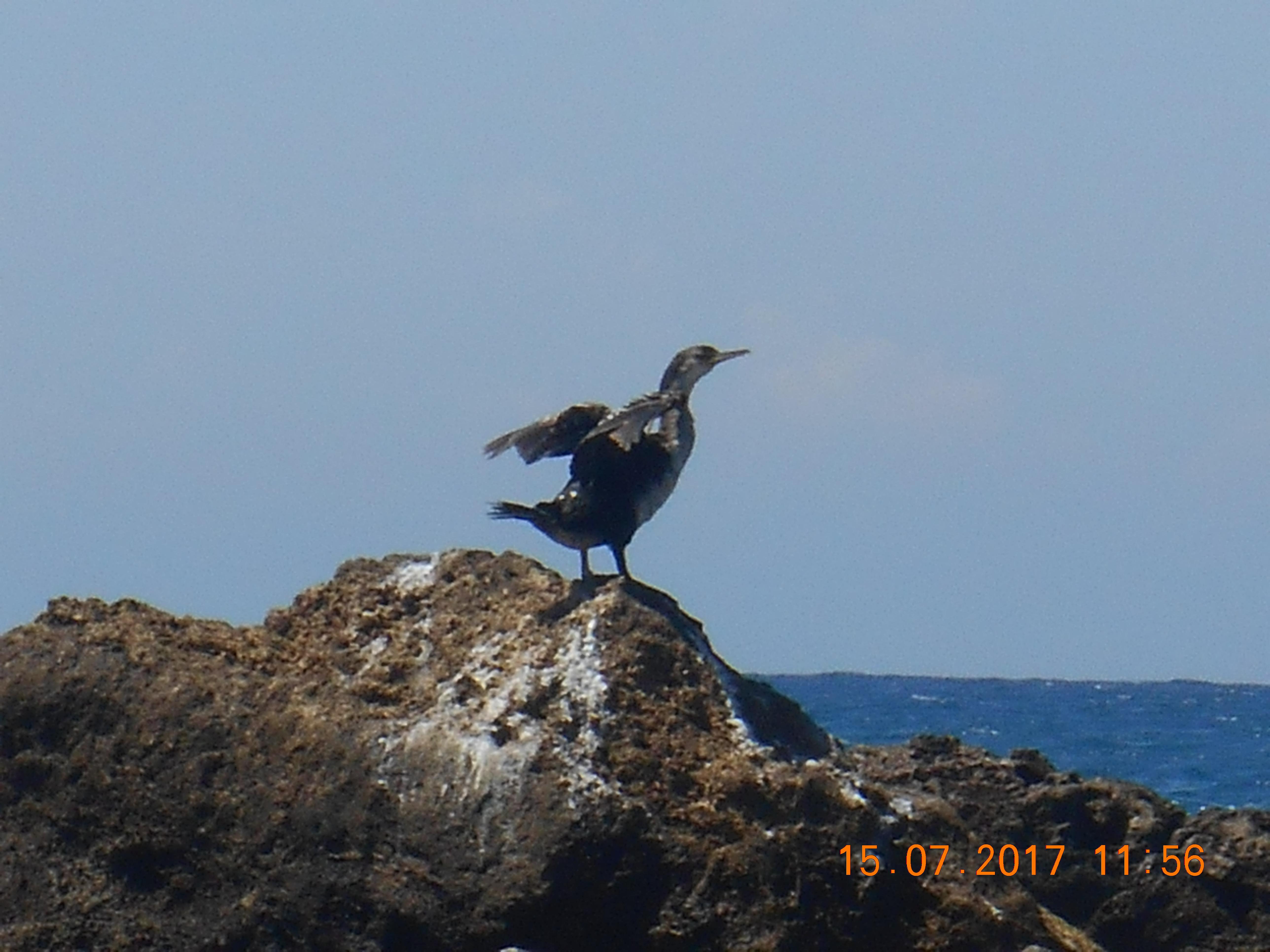 Phalacrocorax carbo Cormorano Comune - intotheblue.it