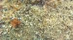 Pavonia - Padina pavonica