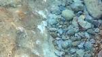 Blennidi - Blenniidae