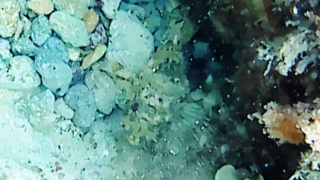 Theblack Scorpionfish