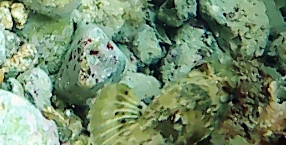 Scorfano nero Scorpaena porcus intotheblue.it