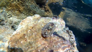 Pulce di mare - neroctailia bivitta