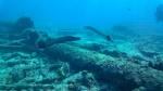 Pesce Trombetta - Aulostomidae