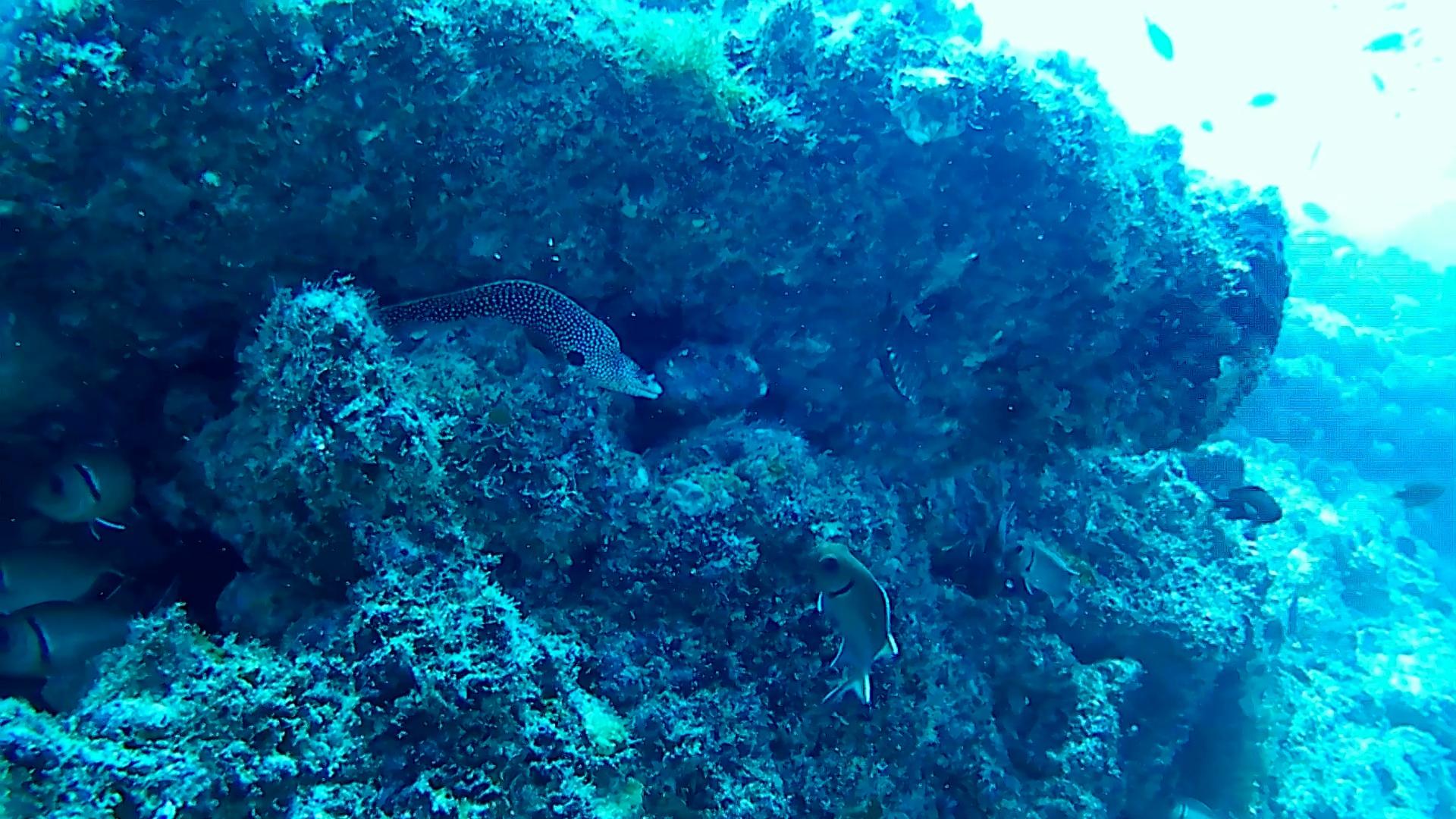 Laced moray Gymnothorax favagineus inmtotheblue.it