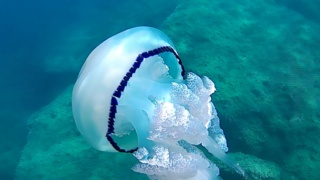 Rhizostoma Pulmo - Barrel Jellyfish