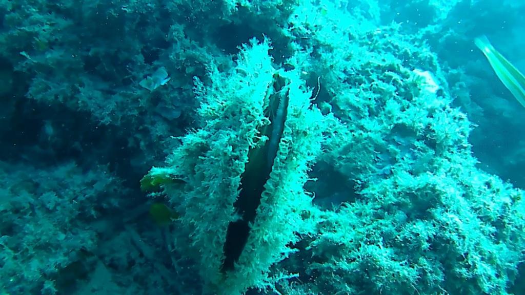 Pinna nobilis mussel pen Noble pen shell fan mussel