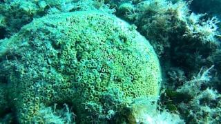 Madrepora a cuscino-Cladocora caespitosa