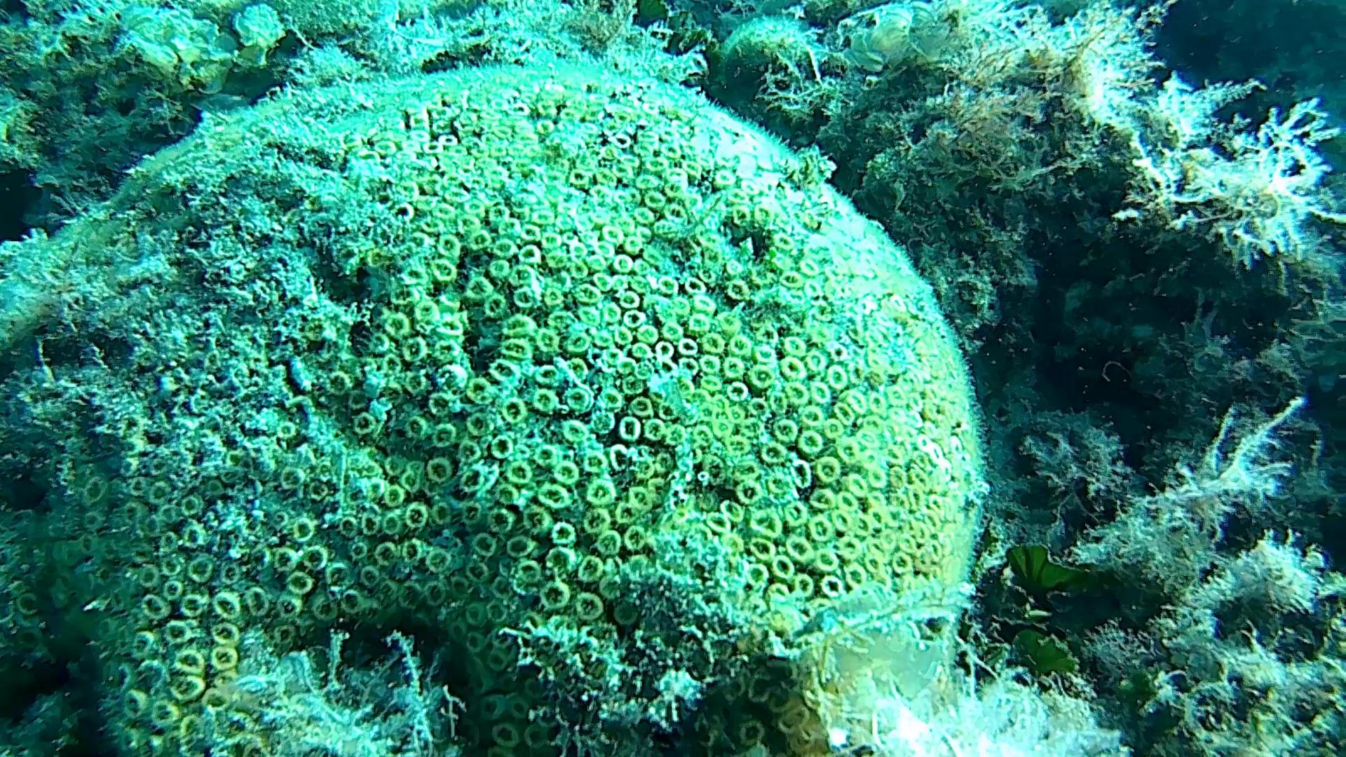 Cladocora caespitosa Cushion Coral intotheblue.it
