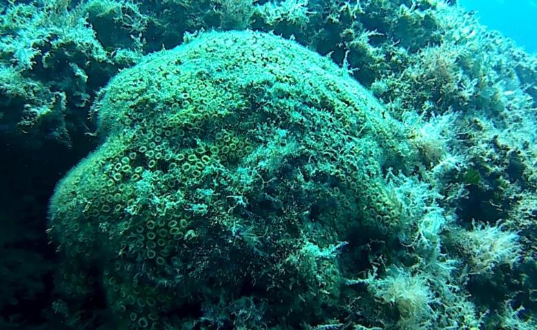 Madrepora a cuscino-Cladocora caespitosa - intotheblue.it
