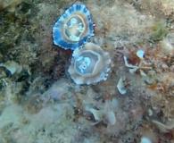 Le Patelle (Famiglia Patellidae) Sono Molluschi Gasteropodi Dell'Ordine Archeogasteropodi- Intotheblue.it