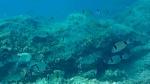 Sarago fasciato - Diplodus vulgaris