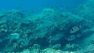 Two-banded sea bream - Diplodus vulgaris