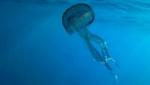 Medusa Luminosa - Pelagia noctiluca
