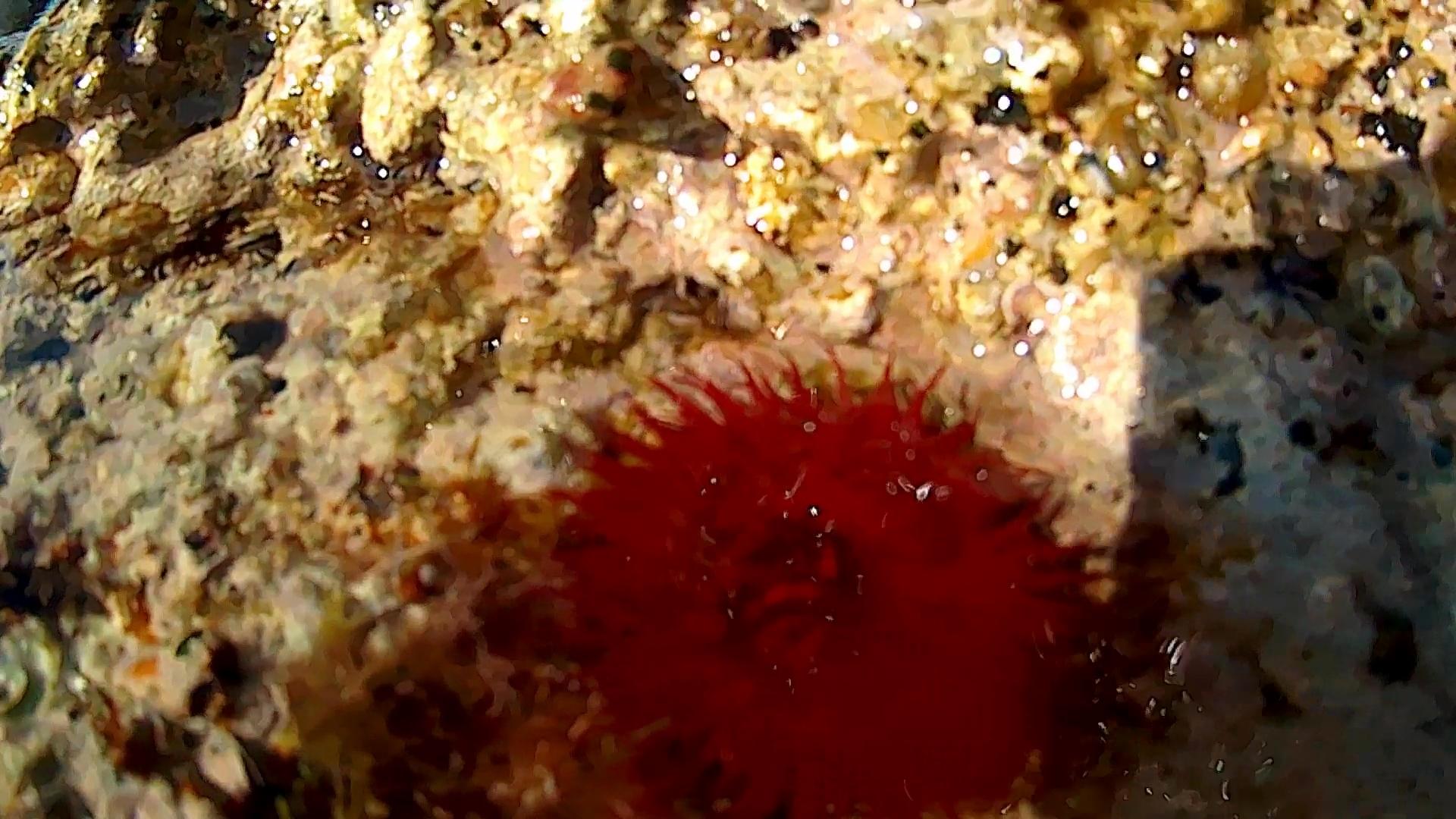 Actinia equina Pomodoro di mare cnidario antozoo intotheblue.it