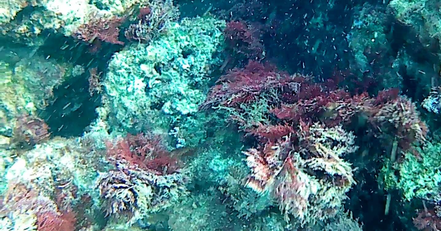 Sphaerococcus coronopifolius alga algae intotheblue.it
