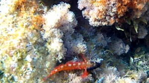 Red blenniidae - Lipophrys nigiceps