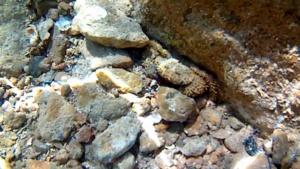 Warty Crab - Eriphia verrucosa