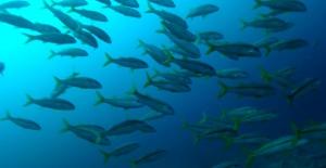 Goatfishes - Mullidae
