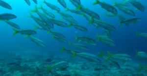 Triglia gialla - Mulloidichthys flavolineatus