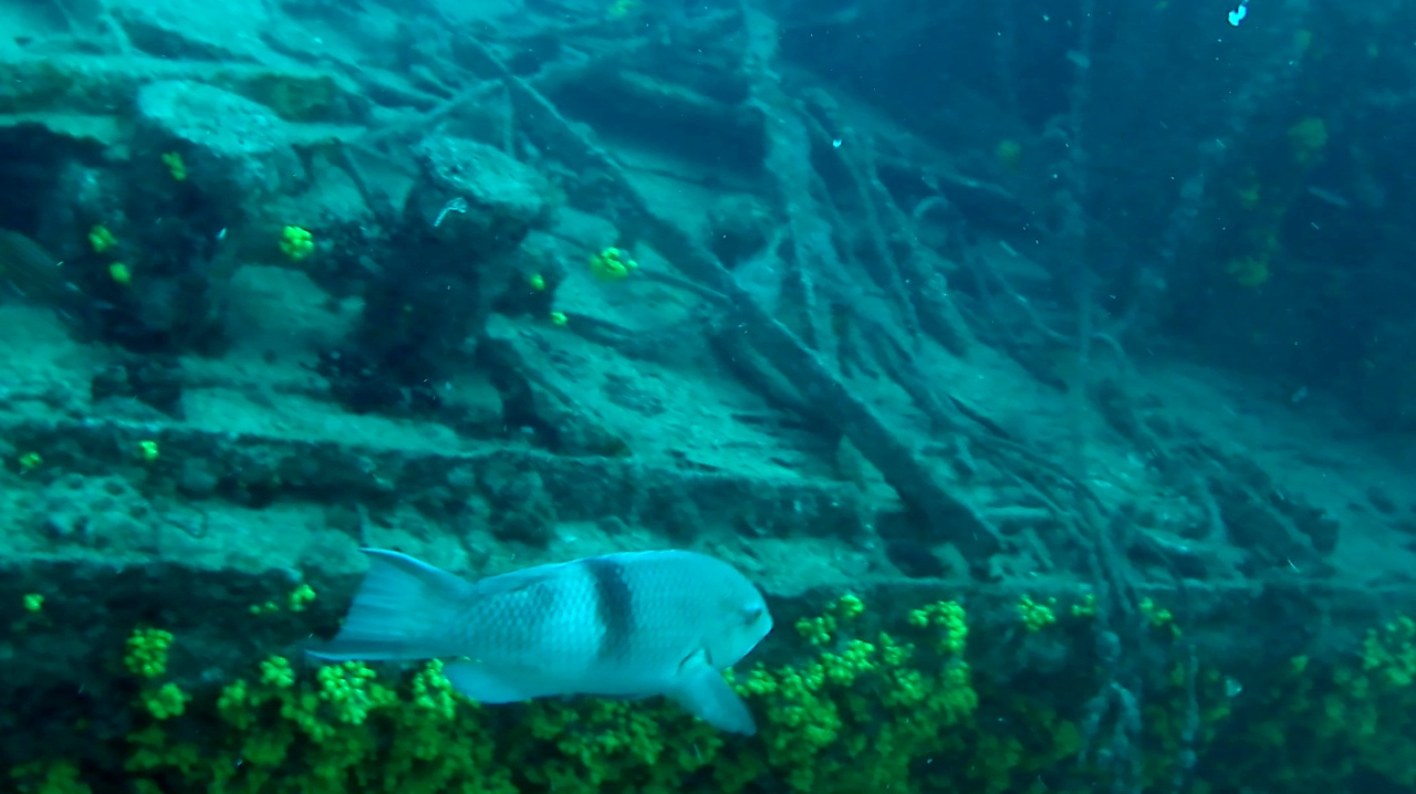 Pesce Balestra Triggerfish intotheblue.it