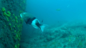 Triggerfish - Balistidae