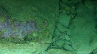 L' alieno marino - Bonellia viridis